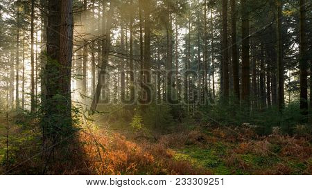 Early morning sunlight filtering it's way through the trees in Bolderwood Arboretum part of the New Forest in Hampshire.