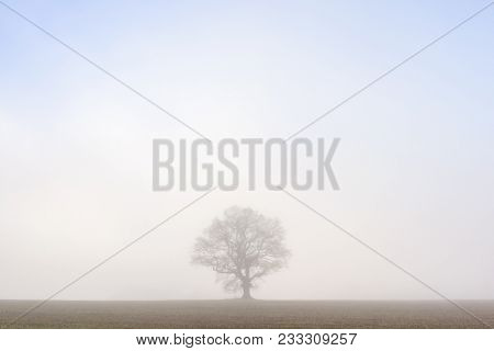 A lone oak tree standing in the middle of a field isolated against the morning mist.