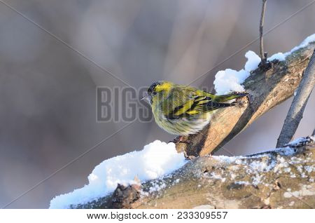 Eurasian Siskin (spinus Spinus) Sits On A Thick Branch Covered With Snow (in The Morning, On A Gray