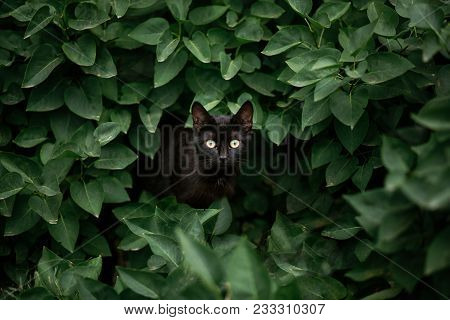 Amazing Black Cat Looking Among Green Leaves. Beautiful Dark Cat With Green Eyes Standing In Bush Le