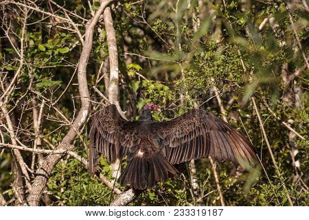 Turkey Vulture Cathartes Aura Perches On Deadwood