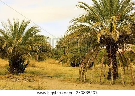 Date Palm Trees Where Date Fruits Are Cultivated Taken At A Date Ranch Farm In The Desert