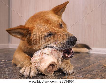 Big Dog Gnaws The Bone. Portrait Of A Happy Dog