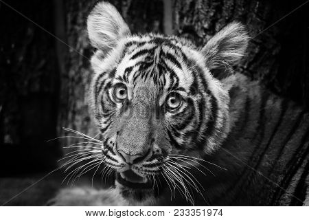 A young tiger who is resting. Beautiful and cute look of youngsters in black and white. poster