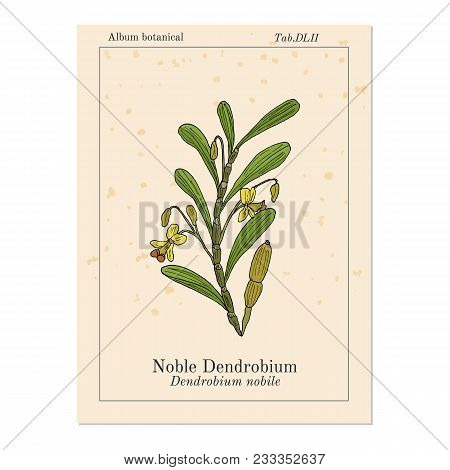 Noble Dendrobium, Ornamental And Medicinal Plant. Hand Drawn Botanical Vector Illustration