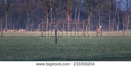 Alert Red Deer In Meadow Behind Fence Of Venison Farm.