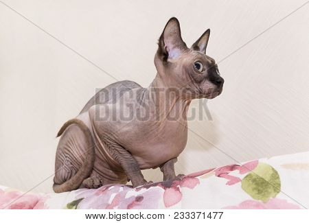 Bald Cat Stares Forward, A Cat Of Breed The Canadian Sphynx, A Bald Pet, Snout, Paws, Tail, Ears, Ey