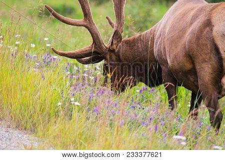 Wild Antlered Bull Elk Or Wapiti (cervus Canadensis) Grazing In The Wildgrass And Wildflowers, Banff