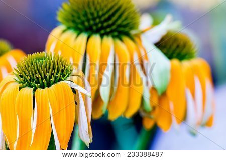 Echinacea Yellow Flowers Blooming. Echinacea Used In Alternative Medicine A An Immun Sytem Booster.