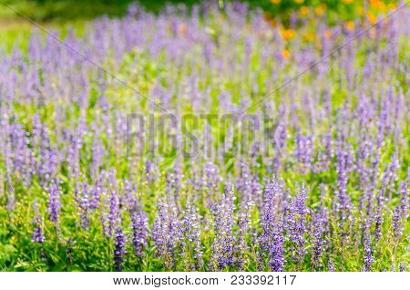 Lavender Flowers, Close-up Field Of Lavenderon Natural Background