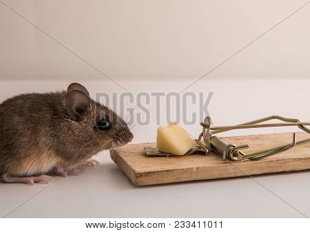 Side View Of A Small, Cute Wood Mouse, Apodemus Sylvaticus, Sniffing On The Cheese Bait On A Mouse T