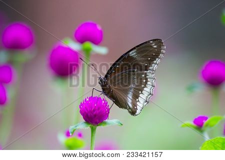 Euploea Core, The Common Crow, Is A Common Butterfly Found In South Asia And Australia. In India It