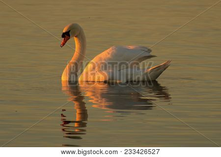 Mute Swan Cygnus Olor In The Evening Light