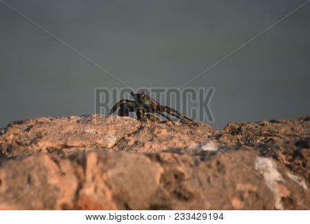 Sea Crab, Known As A Crustacean Walking Along On Rocks.