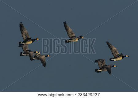 European Barnacle Geese Branta Leucopsisin In Fast Flight