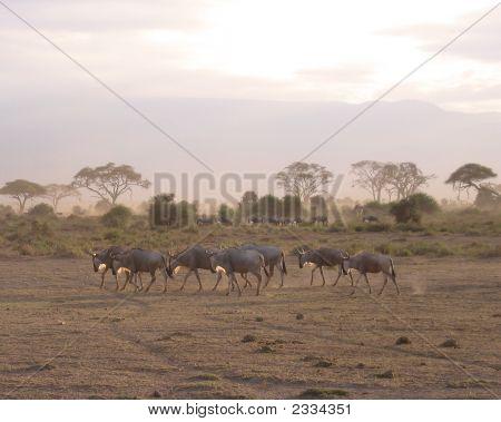 Wildebeests In Amoseli National Park