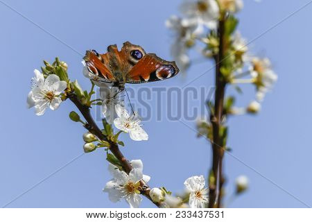 Butterfly Inachys Io On Flower