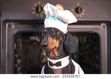 Portrait Of A Cute Dachshund Dog, Black Tan, Chef Cook In A White Hat, Peeks Out Of The Oven In The