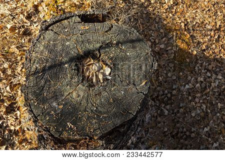 Old Stump. Autumn Forest Brown Wooden Fall Background. Texture Forest Wooden Stump In Autumn Leaves