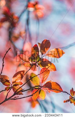 Orange and red leafs in backlight against blue sky