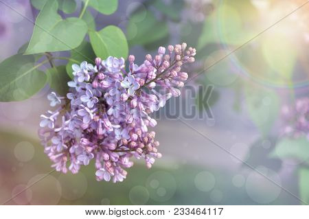 Spring Flowers Background - Spring Lilacs Flowers In Spring Blossom . . Spring Background With Bloom