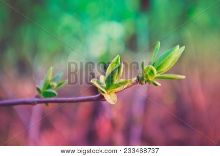 Photo Depicting A Macro Spring View Of The Tree Brunch With Fat  Lovely Leaf Bud. Spring Green Catki