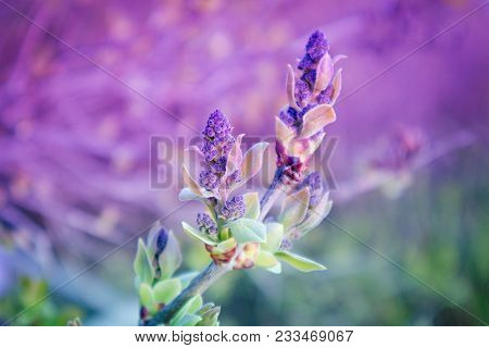 Photo Depicting A Macro Spring View Of The Lilac Tree Brunch With Bushy Green Lovely Leaf Bud. Viole