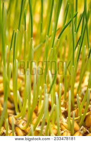 background of germinating wheat grain (red hard winter wheat)