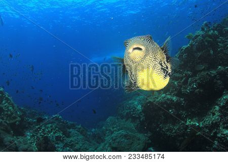 Puffer fish pufferfish