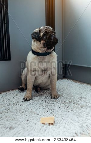 Pug Dog Waiting For A Permission To Eat Cheese On The Kitchen. Training Patience. Pug Dog Puppy Trai