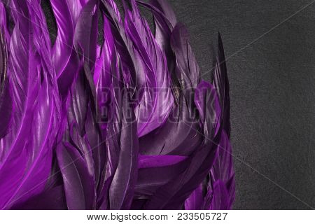 Rooster feathers. Carnival. Purple feather on a black background