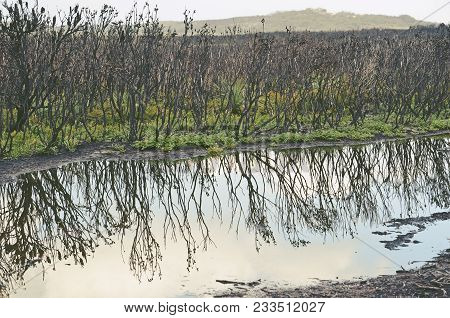 Blackened Trees And Green Undergrowth Regenerating After A Bushfire, Reflected In A Pond After Rain.