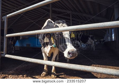 Cows In Modern Cowshed, Milk Dairy Farm, Livestock Cattle At Industrial Husbandry
