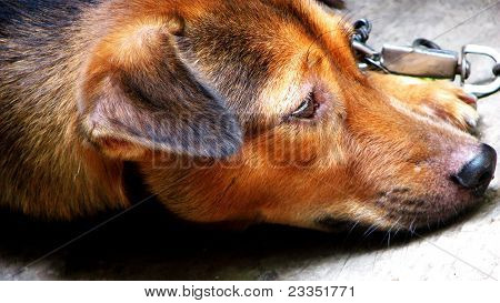 Chained Brown Dog Lying Down and Looking Sad poster