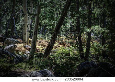 Sunlit Ferns In The Coconino National Forest Along The Kachina Trail Near Flagstaff Arizona Usa