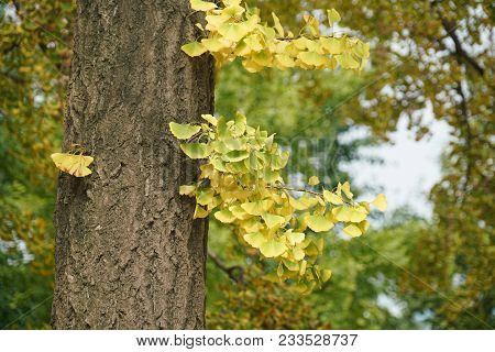 Close Up On Ginkgo Tree With Yellow Leaves In Autumn