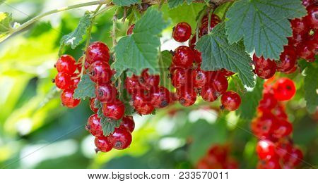 Background Of Red Currant .ripe Red Currants Close-up As Background. A Bunch Of Red Currants On A Br