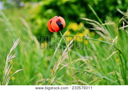 Red Tulip Wildflower Background. Wild Tulip Flower On Green Field Background. Colorful Red Wild Tuli