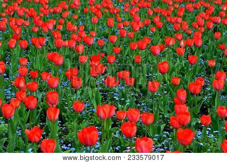 Close-up Red Tulips In Beautiful Blue Forget-me-nots Field. Bulbous Field Red Tulips Bright Flowers.