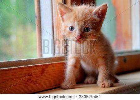 Funny Kitten. Ginger Kitten On Window. Long Haired Red Orange Kitten. Sweet Adorable Kitten On Natur