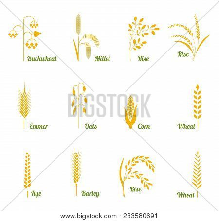 Icon Set Of Cereals With Rice, Wheat, Corn, Oats, Rye, Barley, Buckwheat. The Concept Of Marking Org