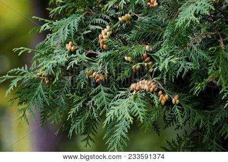 Cypress Cedar Tree Branch. Thuja Occidentalis Bush Is Evergreen Coniferous Tree, In Cypress Family C