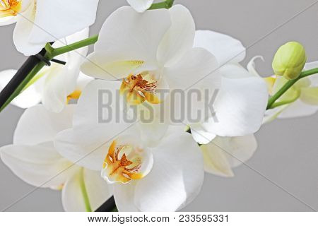 White Orchids. Beautiful White Orchid Flowers Close-up.