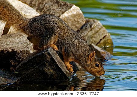 A Fox Squirrel Drinks From A Pond While Perched On Some Rocks. These Squirrels Are Commonly Found In