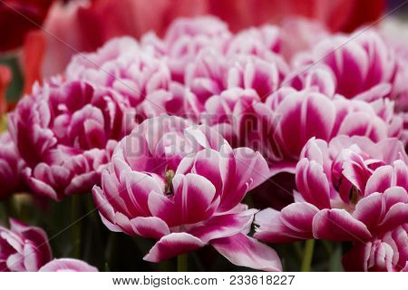 Fluffy Pink Tulip Close-up In The Spring City Field. Pink Or Purple Tulip Field For 8 March Womans D