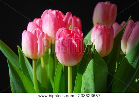 Beautiful Pink Blossom  Tulips, Spring Season Flowers