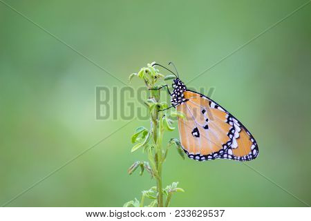 Beautiful Butterfly, Black Veined Brown Butterfly, Butterflies,antennas, Butterfly, Common Tiger But
