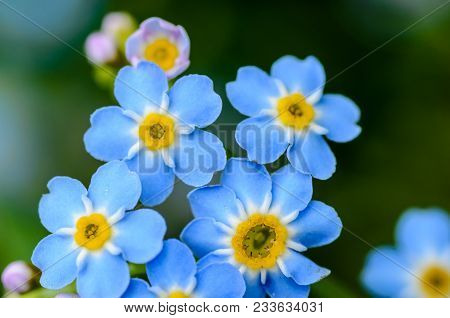 Forest Flowers Of Forget-me-not Blossomed In Small Blue Buds