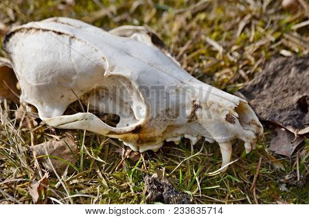 View Of Animal Skull, Dog Skull, South Bohemia, Czech Republic