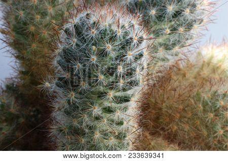 Cactus Thorns Close-up. Macro Cactus Thorns. Cactus Background.